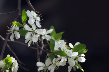 Cherry Blossoming Branch Isolated On Black Background Photo