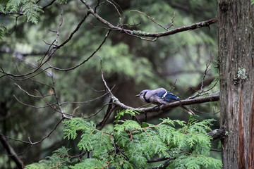 bluejay perched on a tree branch