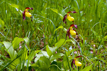 Group of rare Lady's-slipper orchids (Cypripedium calceolus).