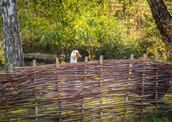 White goose behind farm fence - Rustic image with a german bird farm with a white goose behind a fence wattled with twigs