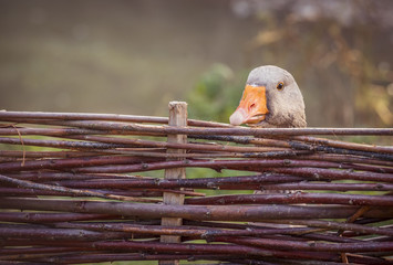 Gray goose behind fence - Portrait of a gray goose hidden behind a fence made of twigs