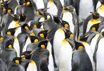 Molting adult king penguins (Aptenodytes patagonicus), Salisbury Plains, South Georgia Island, southern Atlantic Ocean
