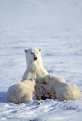 Mother polar bear (Ursus maritimus) nursing yearling cubs, Western Hudson Bay, Canada.