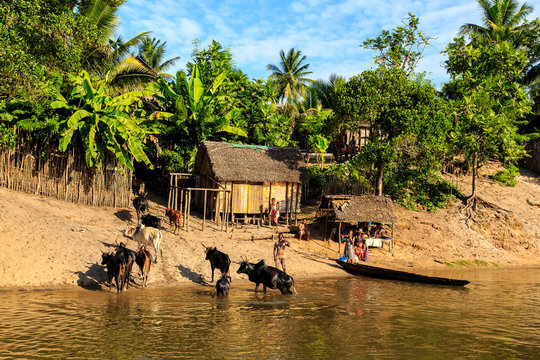 Man in a boat driving his cattle through the river to a village