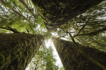 Trees known as the Three Sisters in Carmanah Walbran Provincial Park, Vancouver Island, BC.