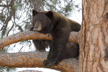 Black bear sow in tree near Stump lake, between Merritt and Kamloops, British Columbia, Canada.