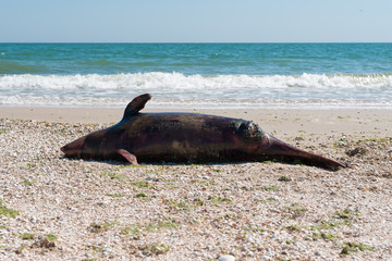 Dead dolphin on the seashore