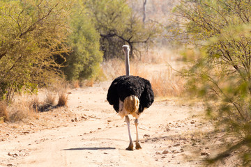 Ostrich from South Africa, Pilanesberg National Park. Africa