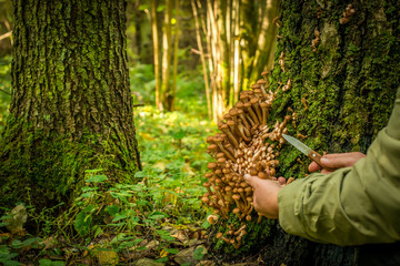 The woman collects, cuts off a knife mushrooms on  tree in the autumn wood. Russian  edible fungi honey agarics