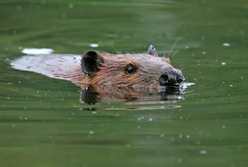 American beaver (Castor canadensis) at Beauval, Saskatchewan