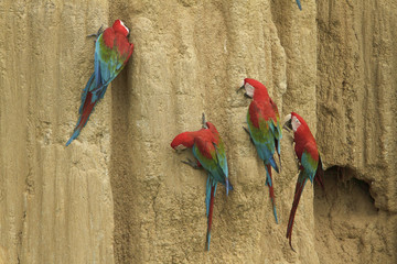 Red-and-green Macaw (Ara chloroptera) perched and feeding on clay in Amazonian Peru.