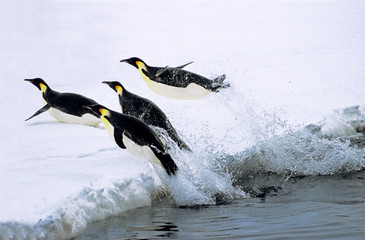 Emperor penguins jumping out of water, Weddell Sea, Antarctica