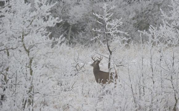 White-tailed Deer (Odocoileus virginianus) Adult Male, Southewest Alberta Canada.