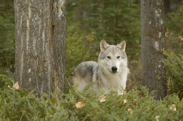 Wolf (Canis lupus) in early autumn forest, Montana, USA.