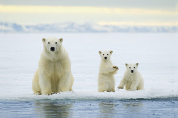 Polar bear mother with cubs on pack ice, Svalbard Archipelago
