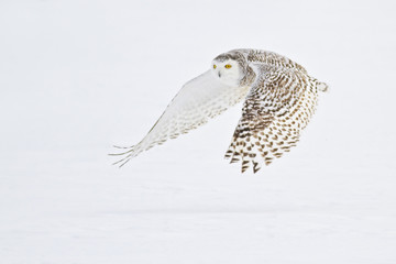 Snowy Owl flying over snow