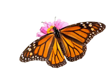 Dorsal view of a female Monarch butterfly feeding on a pink Zinnia, isolated on white