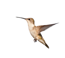 Female Ruby-throated Hummingbird in flight, isolated on white