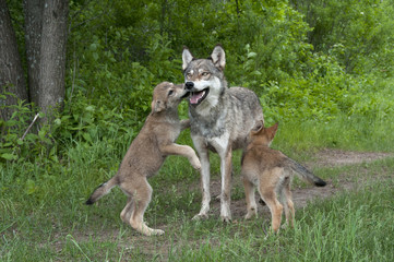 Gray Wolf adult and Pups licking to get food from adult; Minnesota; (Canis lupus)