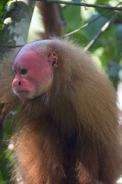 Red faced monkey, Manacamiri, Amazon River, Peru