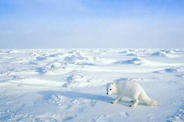 Arctic fox (Alopex lagopus) searching for prey or carrion on the sea ice, Arctic Canada