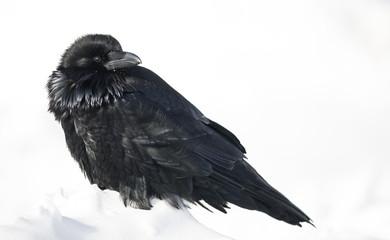 Common Raven (Corvus corax) in winter, Banff National Park, Alberta, Canada