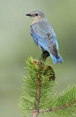 Mountain Bluebird (Sialia currucoides), Deschutes National Forest, Oregon, United States of America