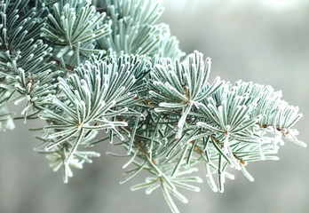 pine in frost
