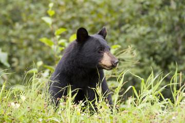black bear (ursus americanus) eating grass near town of Stewart in northern British Columbia Canada