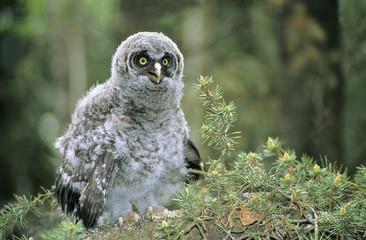 Branchling great gray owl (Strix nebulosa), northern Alberta, Canada