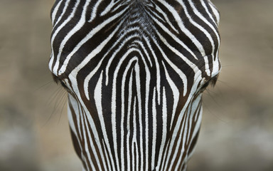 Zebra head close up from above