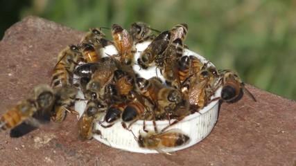 Fotoväggar - Honey Bees (Apis mellifera) swarming to get sugar water