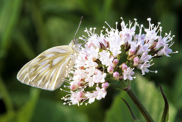 Western white butterfly, (Pontia occidentalis) on sitka valerian flower, South Chilcotin Provincial Park, British Columbia, Canada.