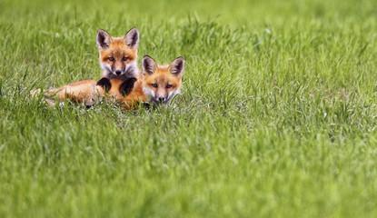 Two Kit foxes in grassy field, Saskatchewan, Canada