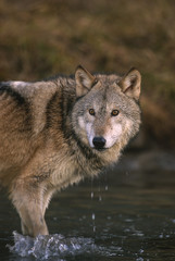 Wolf, (Canis lupus), in river/stream, Montana, United States of America