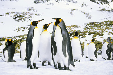 Courting king penguins (Aptenodytes patagonicus) Salisbury Plain, South Georgia Island, southern Atlantic Ocean