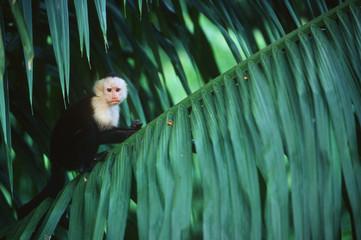 Costa Rica, White faced capuchin (Cebus capuchinus)