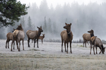 Herd of cow Elk or Wapiti and their young in foggy atmosphere and frost covered grasses, (Cervus canadensis), one is radio-collared, Jasper National Park, Alberta, Canada