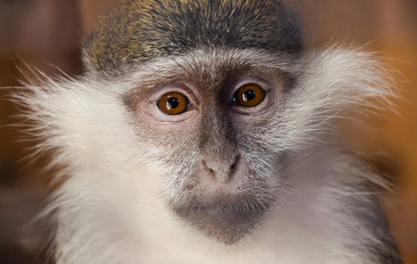 Young female green monkey Chlorocebus sabaeus, sabaeus monkey or callithrix monkey looking seriously directly at the viewer. The struggle for animal rights.