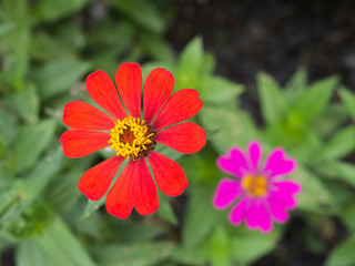 Red Zinnia Blooming