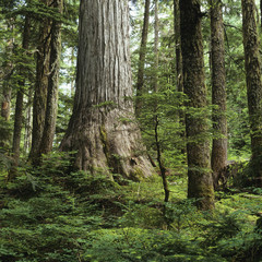 Yellow Cedar, Caren Range, Sechelt Peninsula, British Columbia, Canada.