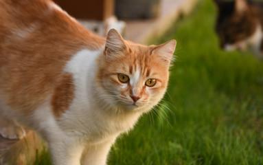 Cat standing on green grass.