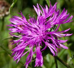 Macrophotographie d'une fleur sauvage: Centauree scabieuse (Centaurea scabiosa)