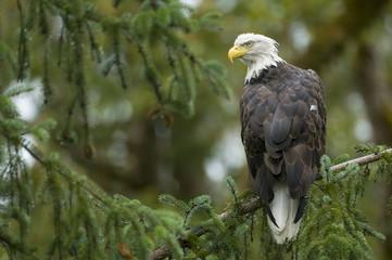 A Bald Eagle, Haliaeetus leucocephalus, perched in Bella Coola, British Columbia
