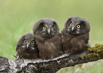 Three Boreal Owl chicks, Aegolius funereus, perched on a log in the Nisbet Forest, Saskatchewan,Canada