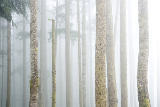 Fog moves through a patch of old-growth western hemlocks in the Gordon River Valley near Port Renfrew, Vancouver Island, British Columbia, Canada.