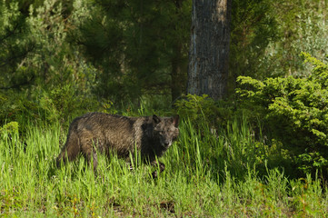 Wolf (Canis lupus) in a clearing in spring, Montana, USA.