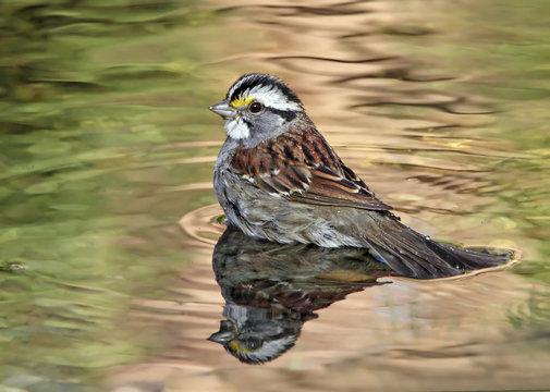 A White-throated Sparrow, Zonotrichia albicollis, bathing in a backyard pond in Saskatoon, Saskatchewan