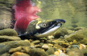 Sockeye salmon, Adams River, Shuswap, British Columbia, Canada