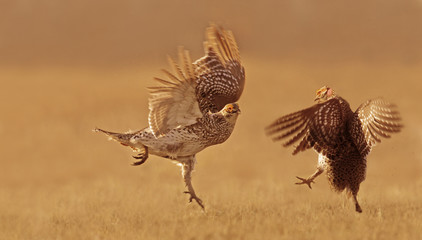 Sharp-tailed Grouse, Tympanuchus phasianellus,  fighting for a mate in Saskatchewan